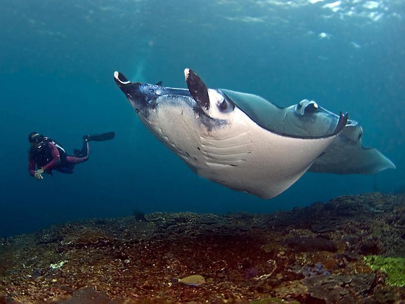 Manta-and-diver-Penida